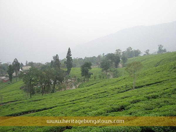 Temi Tea Garden Bungalow Sikkim Temi Tea Garden Hotel